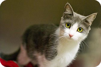 Domestic Shorthair Cat for adoption in Troy, Michigan - Piffle