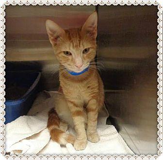 Domestic Mediumhair Kitten for adoption in Marietta, Georgia - ROMEO - available 12/31