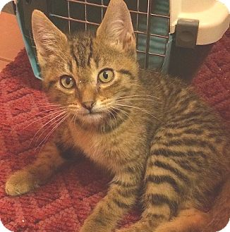 Domestic Shorthair Kitten for adoption in Hillside, Illinois - Jerry-11 WEEKS-Tom's brother