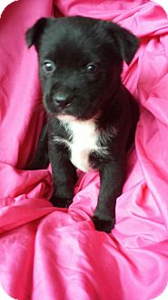 English Pointer/Retriever (Unknown Type) Mix Puppy for adoption in Olympia, Washington - Vera