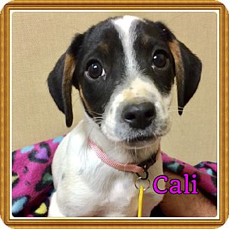 Beagle/Cocker Spaniel Mix Puppy for adoption in Haggerstown, Maryland - Cali