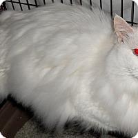 Adopt A Pet :: Versace - Chattanooga, TN