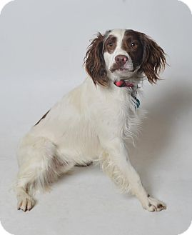 English Springer Spaniel Mix Dog for adoption in Fruit Heights, Utah - Armani