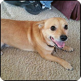 Chihuahua/Corgi Mix Dog for adoption in Colorado Springs, Colorado - Zephyr