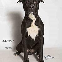 Adopt A Pet :: Maxx Meyer - Seattle, WA