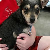 Adopt A Pet :: Stitch - Cat Spring, TX