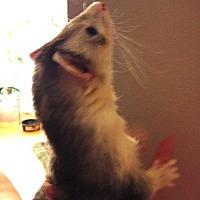 Ferret for adoption in Navarre, Florida - Raymond AKA Lil'B