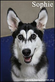 Husky Mix Puppy for adoption in Rockwall, Texas - Sophie