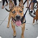 Adopt A Pet :: Bengal fka Lucas (Needs Foster/Has Application)