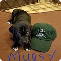 Adopt A Pet :: Puppy Mugsy - Austin, TX