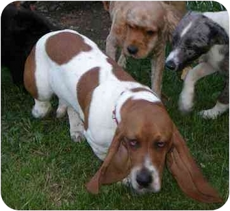 Basset Hound Mix Puppy for adoption in Homer, New York - Brady
