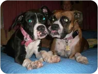 Boxer Mix Puppy for adoption in Middlesex, New Jersey - Bailey