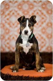 Australian Cattle Dog Mix Puppy for adoption in Portland, Oregon - Blue
