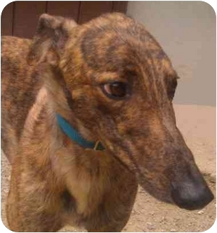 Greyhound Dog for adoption in Gerrardstown, West Virginia - Would You Do It (Woody)