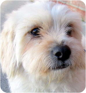 Lhasa Apso/Shih Tzu Mix Dog for adoption in Los Angeles, California - Duncan *VIDEO*