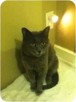 Domestic Shorthair Cat for adoption in Okotoks, Alberta - Tommy