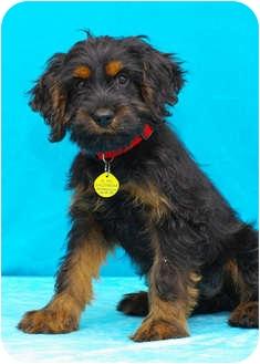 Cockapoo/Labrador Retriever Mix Puppy for adoption in Westminster, Colorado - COUGAR