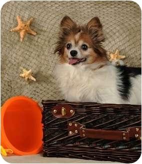 Chihuahua Dog for adoption in Las Vegas, Nevada - Bingo