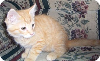 Maine Coon Kitten for adoption in Gray, Tennessee - Dagon