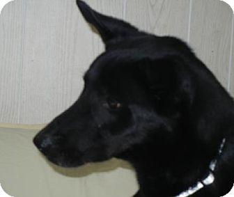 German Shepherd Dog/Labrador Retriever Mix Dog for adoption in Antioch, Illinois - Clyde ADOPTION PENDING!!