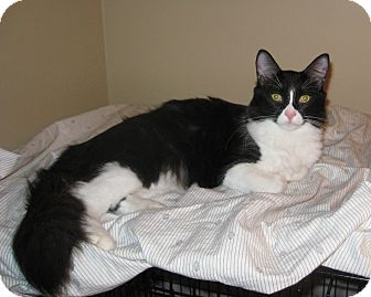 Domestic Mediumhair Cat for adoption in Houston, Texas - Katherine