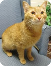 Domestic Shorthair Cat for adoption in Jackson, Michigan - Bobbi