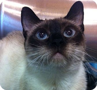 Siamese Cat for adoption in Witter, Arkansas - SIMONE (Siamese)