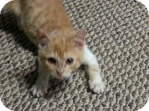 Domestic Shorthair Kitten for adoption in Trevose, Pennsylvania - John Glenn