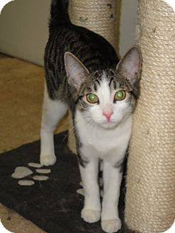 Domestic Shorthair Cat for adoption in Aylmer, Ontario - Cranberry