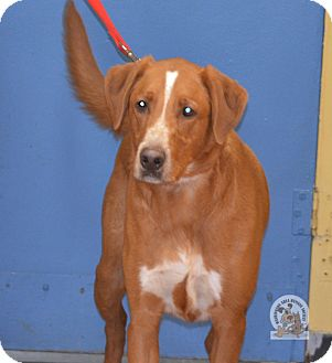 Retriever (Unknown Type)/Redbone Coonhound Mix Dog for adoption in Eighty Four, Pennsylvania - Rocky