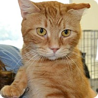 Domestic Shorthair Cat for adoption in East Smithfield, Pennsylvania - Case