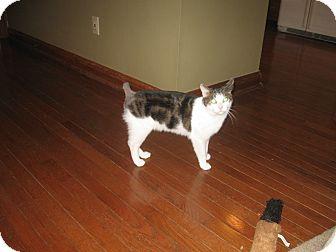 Domestic Shorthair Cat for adoption in Columbus, Ohio - Mims