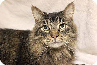Domestic Longhair Cat for adoption in Midland, Michigan - Thomas