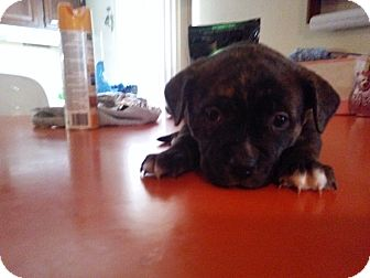 American Bulldog/Pit Bull Terrier Mix Puppy for adoption in Clarkston, Michigan - Reese