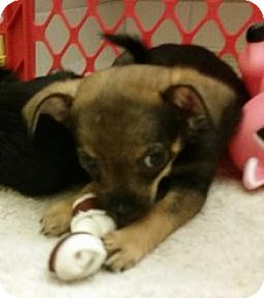 Chihuahua/Jack Russell Terrier Mix Puppy for adoption in Bunnell, Florida - Mariah