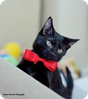 Domestic Shorthair Kitten for adoption in Knoxville, Tennessee - Shadow