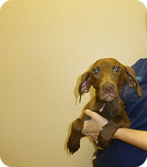 Labrador Retriever/Vizsla Mix Puppy for adoption in Oviedo, Florida - Lilo