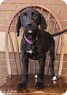 Labrador Retriever/Shepherd (Unknown Type) Mix Puppy for adoption in Charlotte, North Carolina - Harper (Panthers Litter)