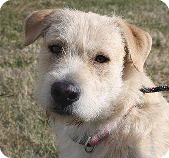Labradoodle/Terrier (Unknown Type, Medium) Mix Dog for adoption in Staunton, Virginia - Flying J
