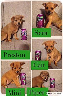 "Dachshund/Pomeranian Mix Puppy for adoption in Woodward, Oklahoma - ""Daphne Dachshund Litter"""