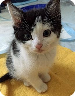 Domestic Shorthair Kitten for adoption in Troy, Michigan - Bach