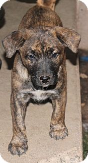 Shepherd (Unknown Type)/Labrador Retriever Mix Puppy for adoption in Redding, California - Ginger Snap