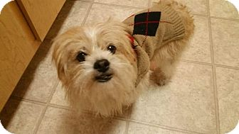 Lhasa Apso/Cairn Terrier Mix Dog for adoption in Phoenix, Arizona - Pete