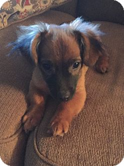 Chihuahua/Dachshund Mix Puppy for adoption in Groton, Massachusetts - Derek