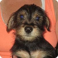 Adopt A Pet :: Nicholas - Greenville, RI