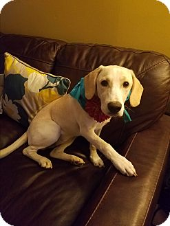 Labrador Retriever/Basset Hound Mix Dog for adoption in Cincinnati, Ohio - Molly