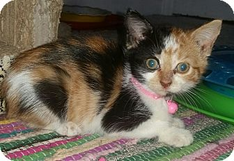 Domestic Shorthair Kitten for adoption in Washington, North Carolina - PAISLEY