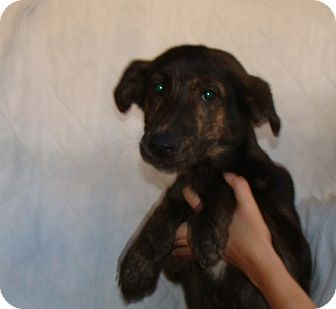 German Shepherd Dog/Labrador Retriever Mix Puppy for adoption in Oviedo, Florida - Tiara