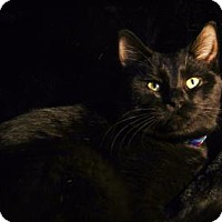 Domestic Shorthair Cat for adoption in Roseville, Minnesota - Bronson