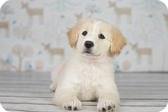Golden Retriever Mix Puppy for adoption in Columbus, Ohio - Shirley